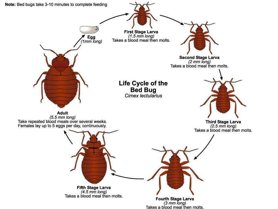 Knowing More About Bed Bugs