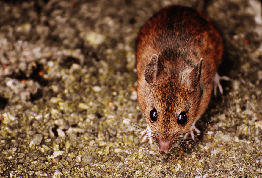 Rodents Prevention and Control