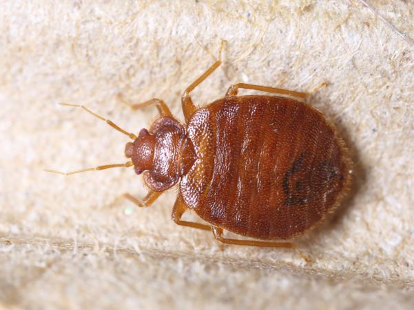 Bedbugs: Proper Way to Control