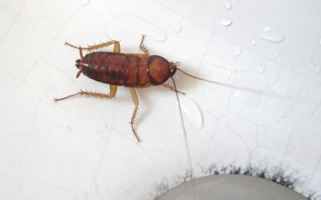 Get Rid of Cockroach: Tips for Controlling Cockroach
