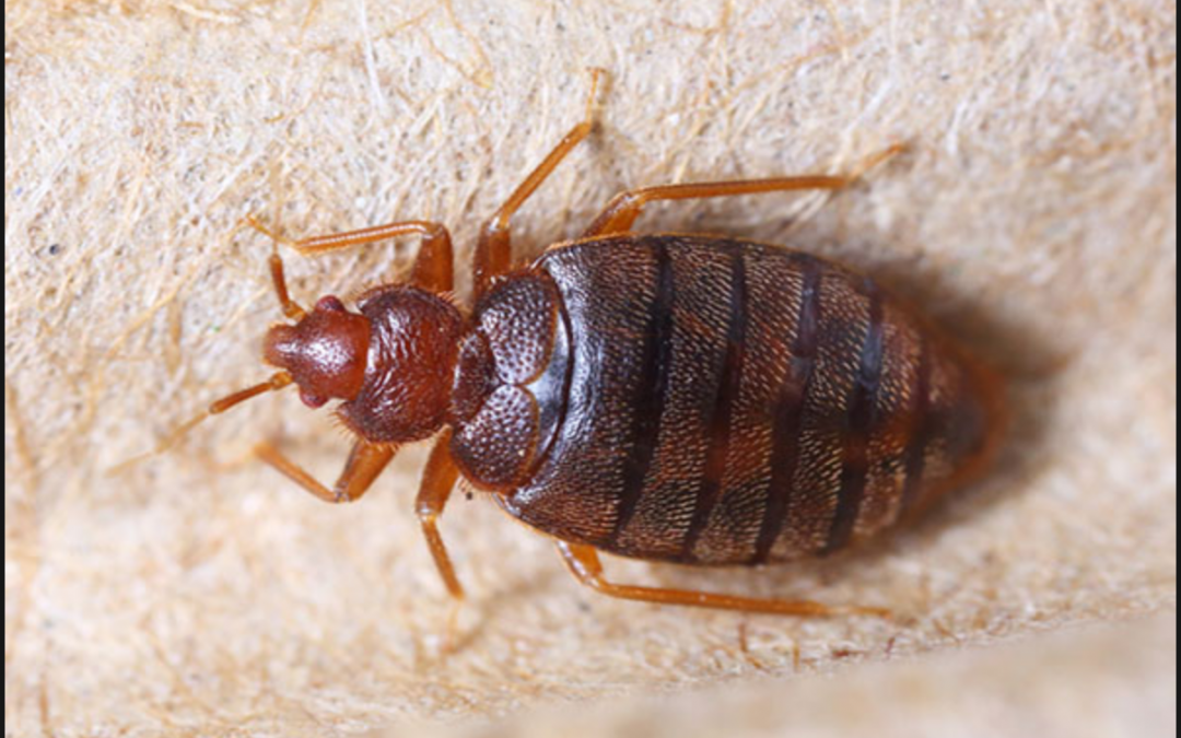 What You Need to Do When Exterminating Bed Bugs