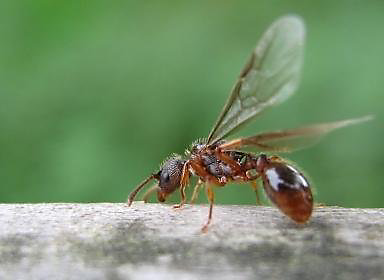Guides To Controlling Flying Ants